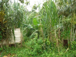 Sugar cane growing in Grand Etang park, Grenada